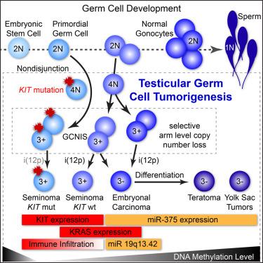 testicular cancer genetic links)