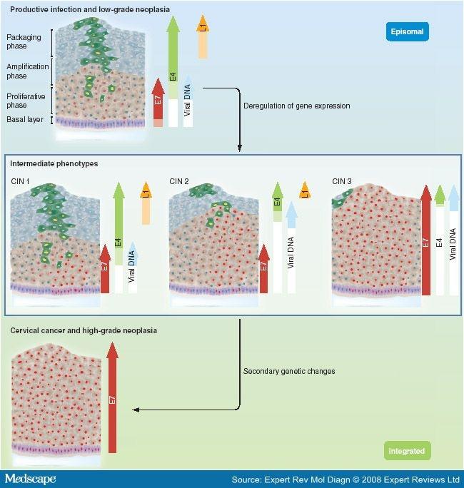 HPV (Papiloma Virus Uman) E6/E7 ARNm   Synevo