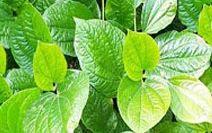 anthelmintic herbs