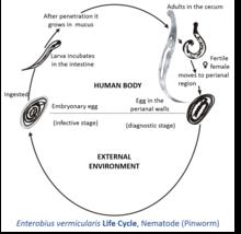 enterobius vermicularis diagram)