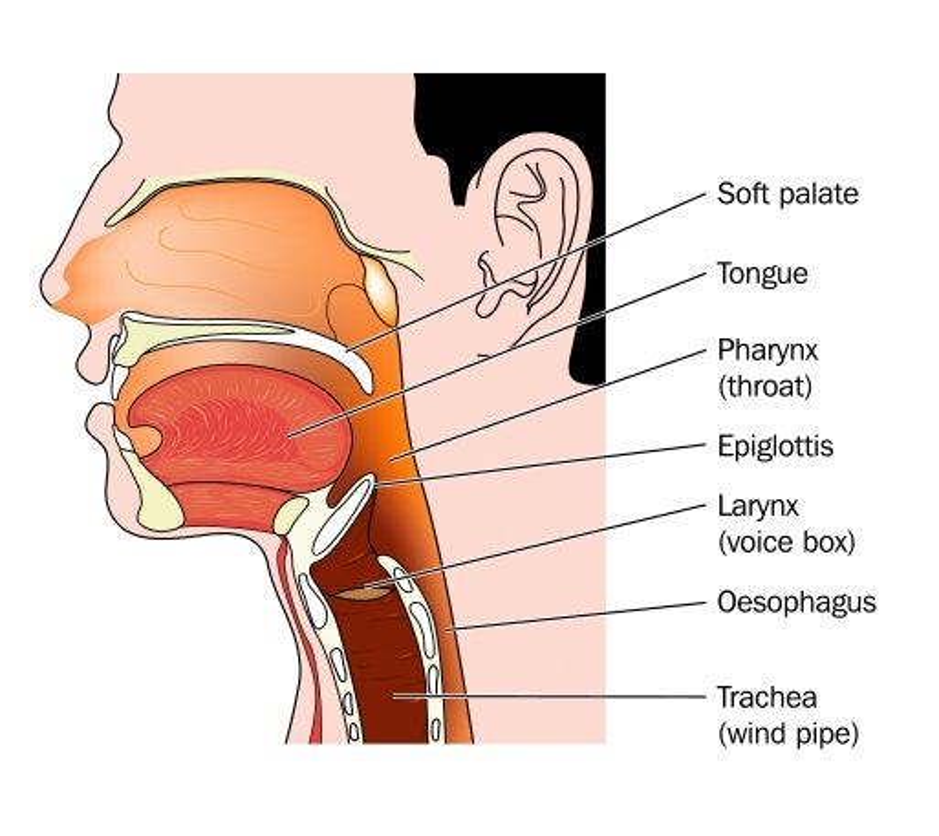 hpv vaccine head neck cancer)