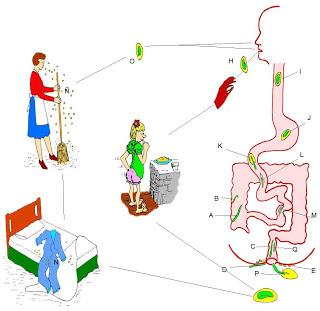 patogenia de enterobiasis)