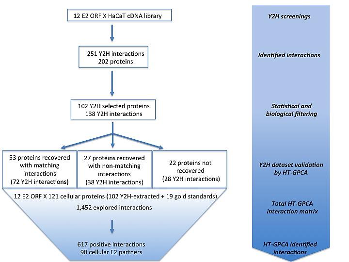consequence papillomavirus humain
