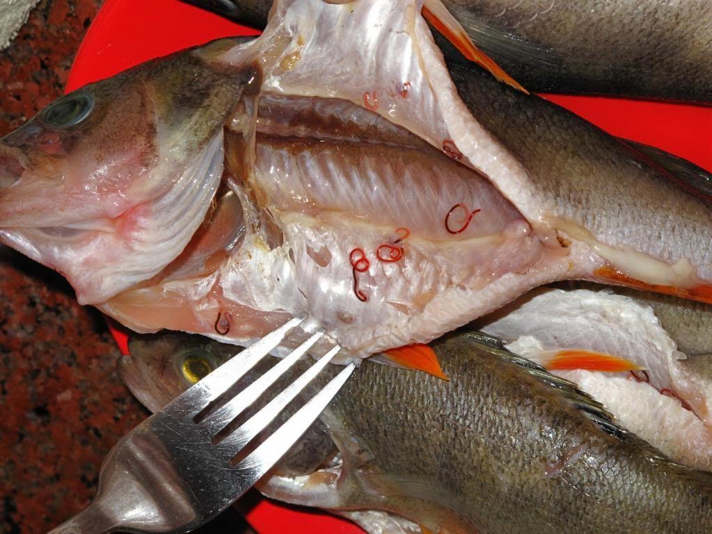 Paraziti la Salau - asspub.ro - Pescuit sportiv