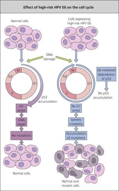 human papillomavirus viral replication helmintox sachet