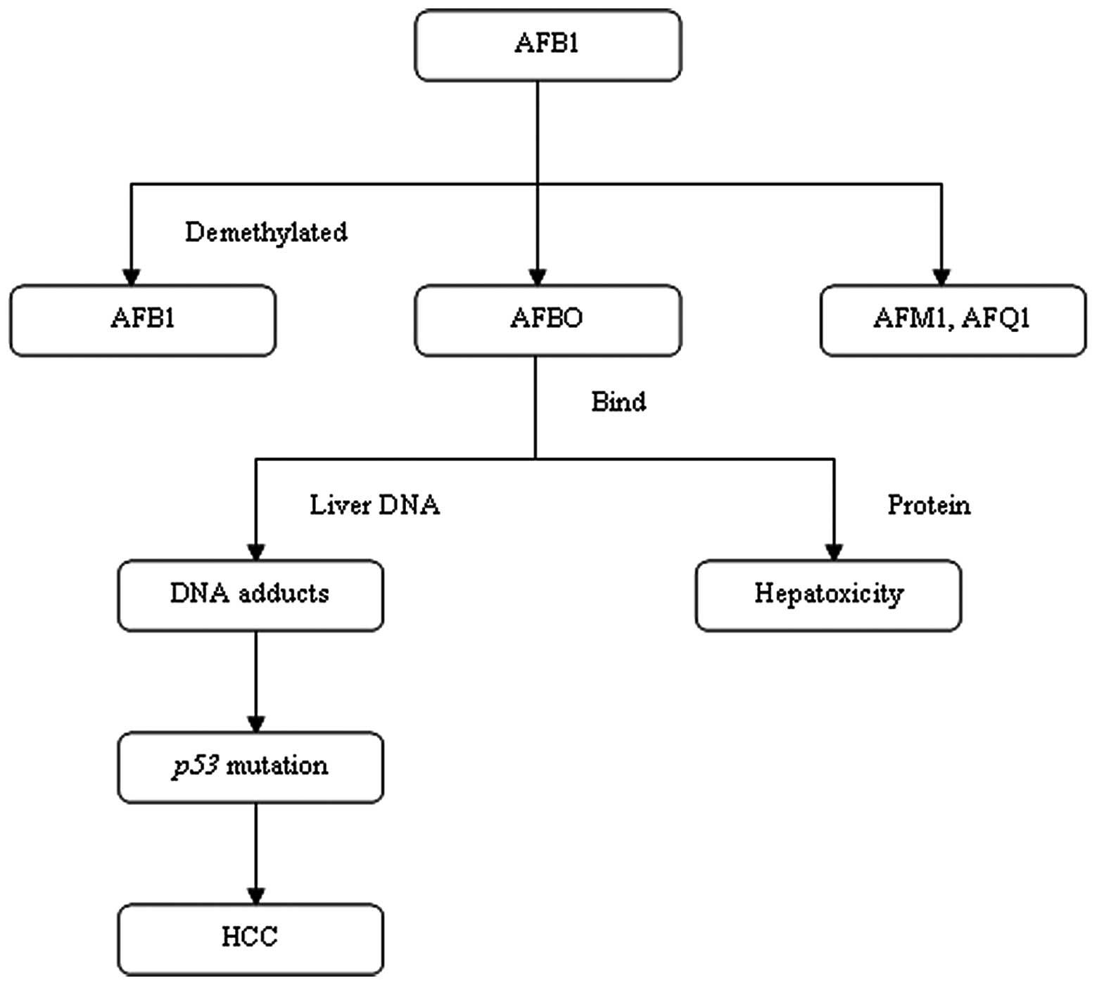hepatic cancer aflatoxin