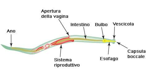 enterobius vermicularis terapia