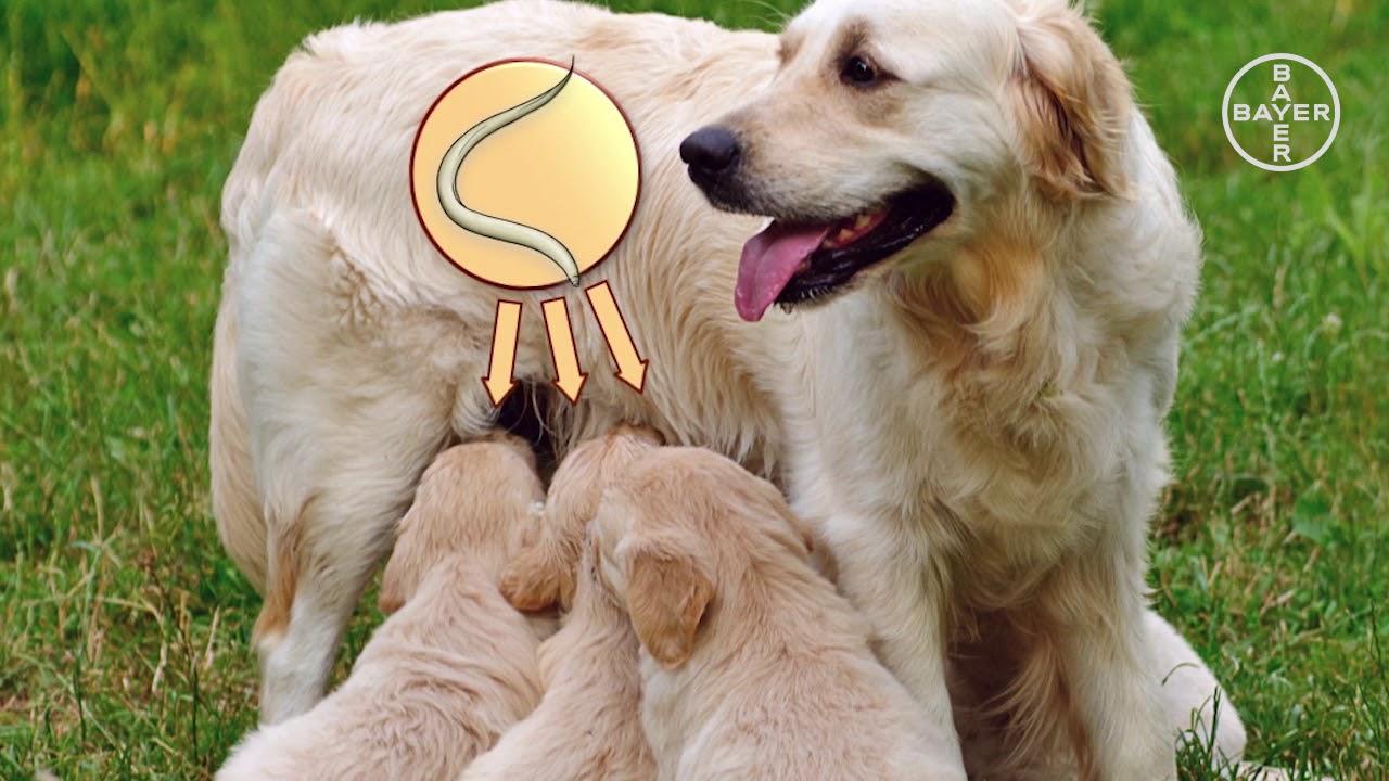 oxiuros perros)