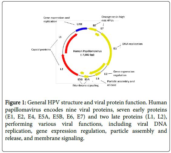 human papillomavirus proteins ce este papillomavirus uman