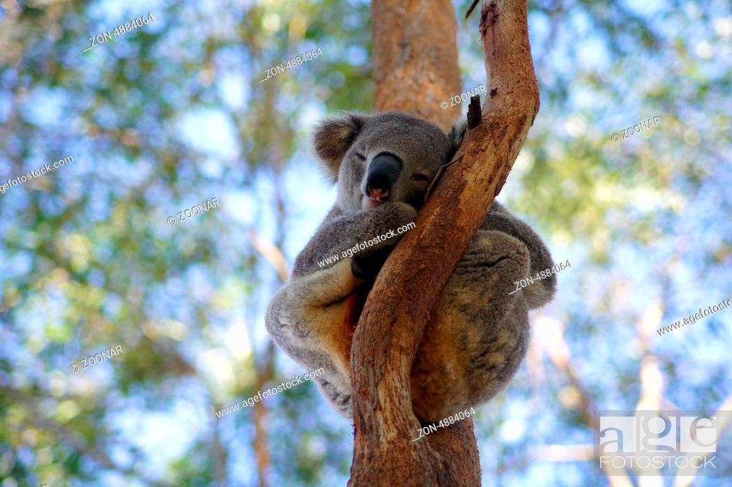 toxine eucalyptus)