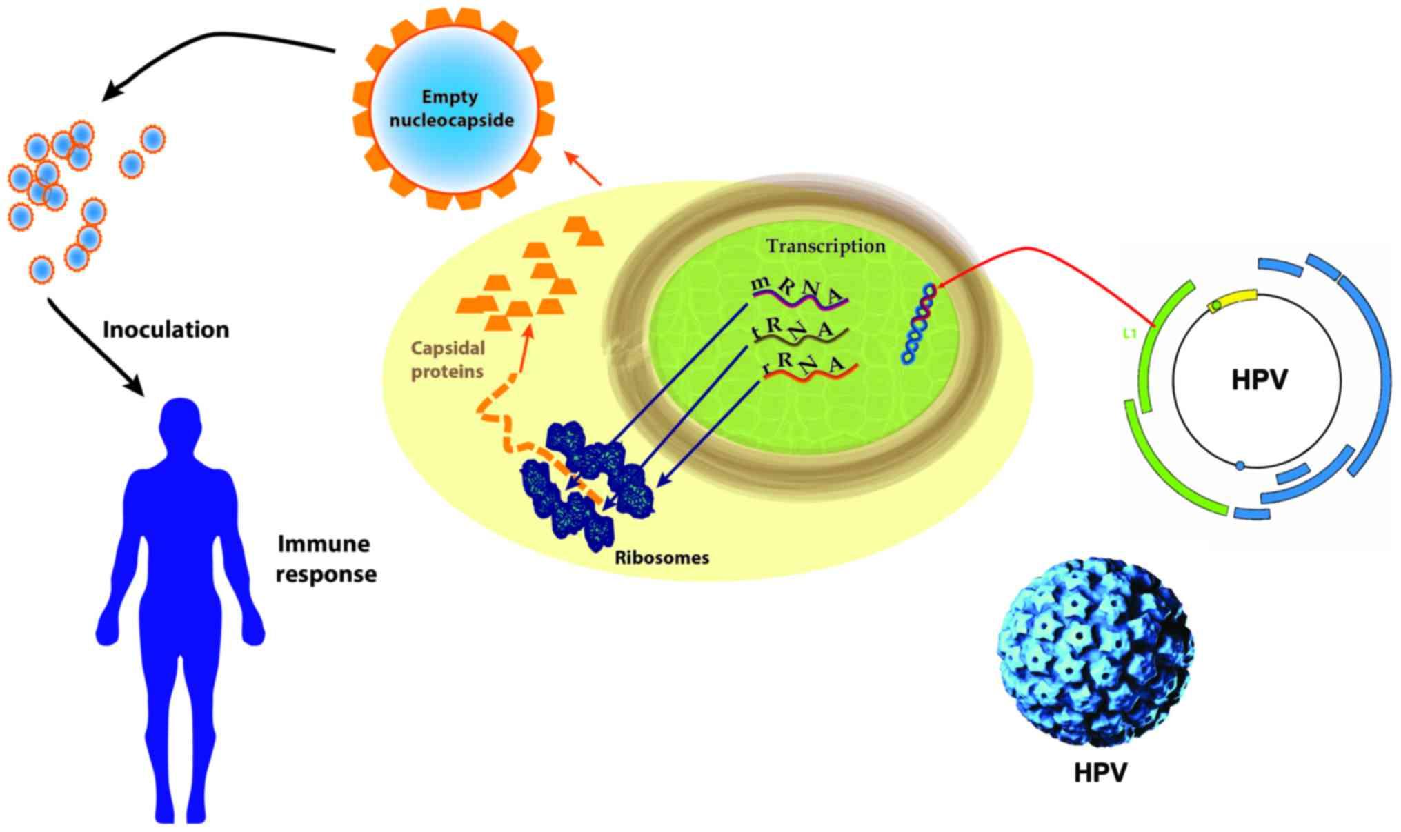 papillomavirus cellule animale