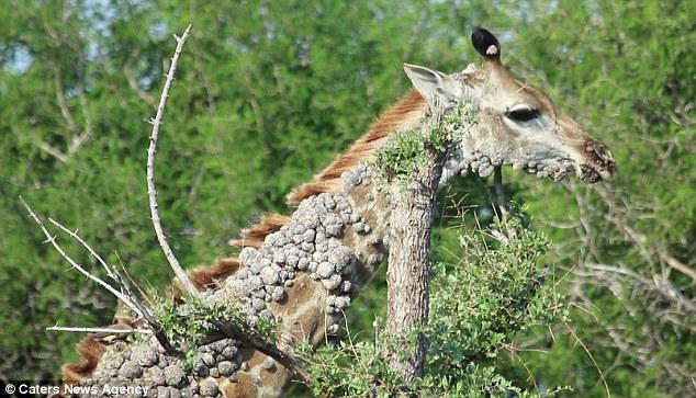 papilloma virus in giraffes hpv-impfung gardasil oder cervarix