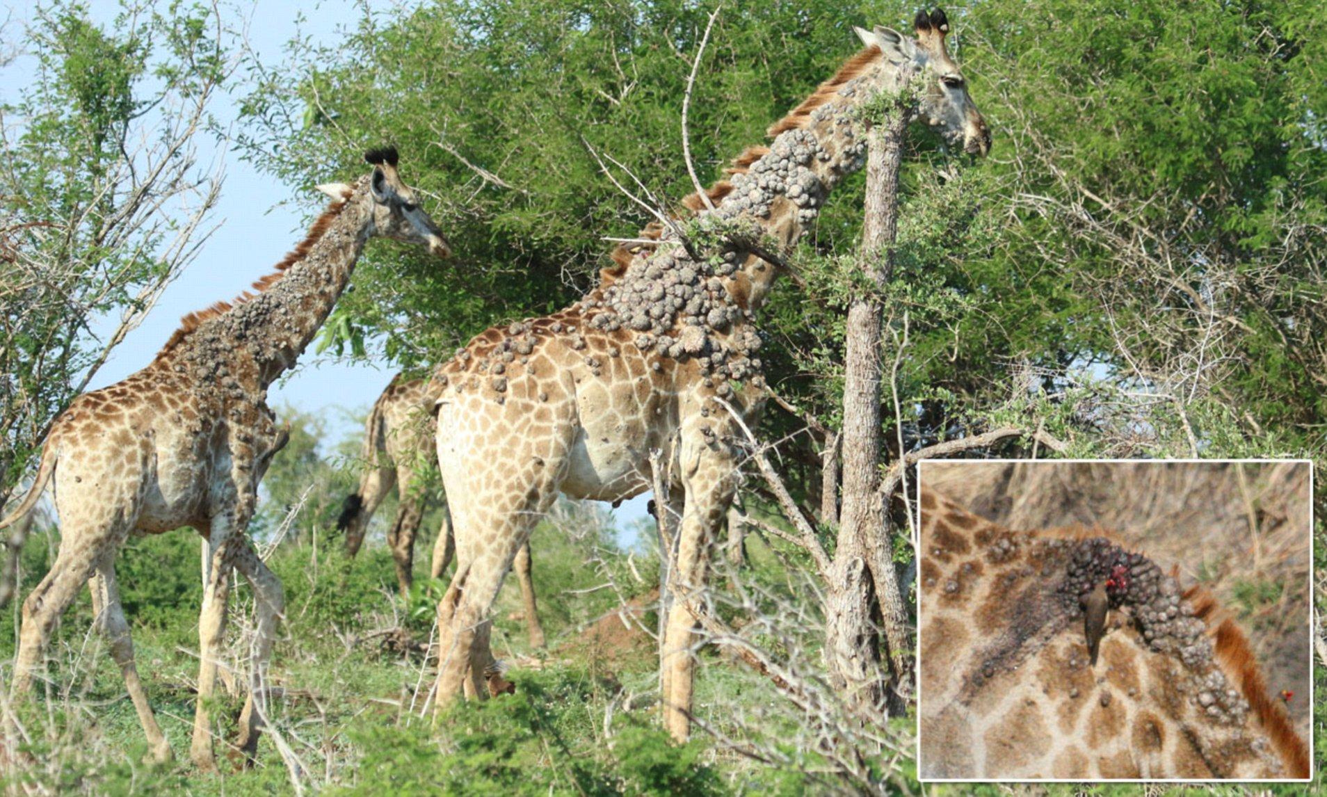 papilloma virus in giraffes