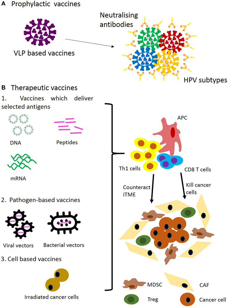hpv cervical cancer immunotherapy