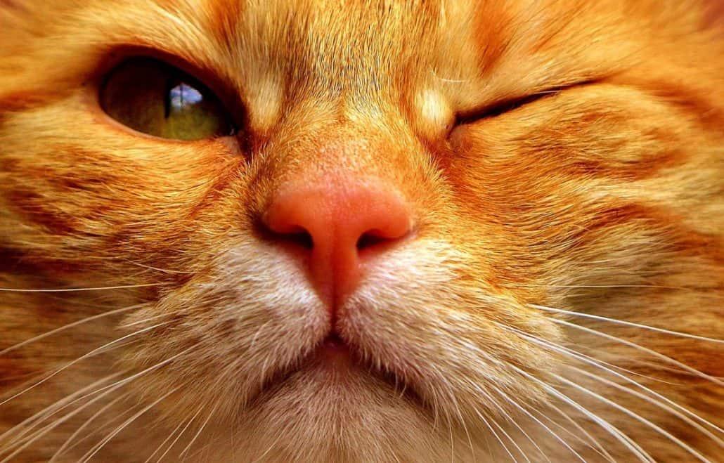 papilloma gatto