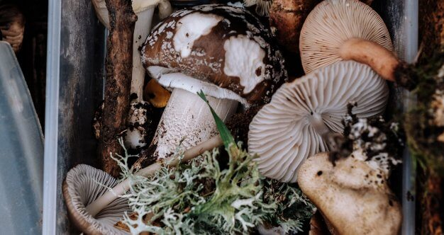 hpv cure mushroom