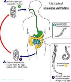 enterobius vermicularis habitat is hpv virus cancer
