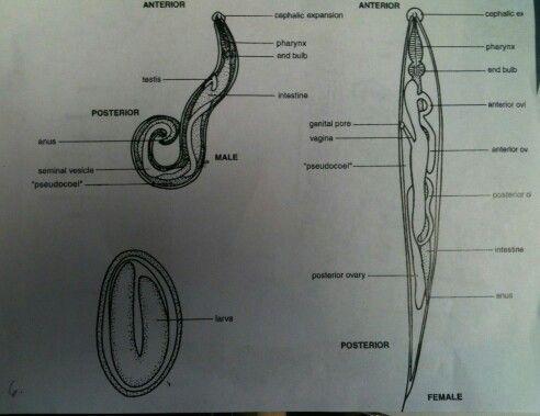 paraziti enterobius vermicularis)