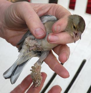 papilloma virus in birds)