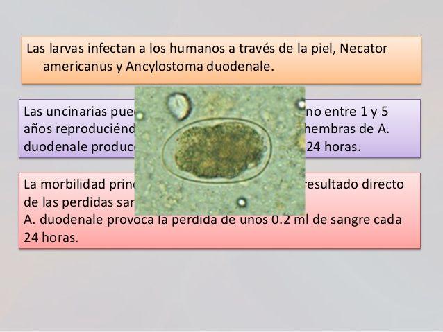 amoeba caracteristicas