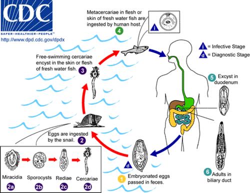 enterobius vermicularis causa qual doenca)
