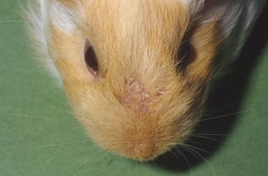 dysbiosis guinea pig