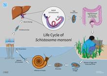 schistosomiasis origin
