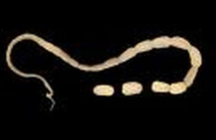 paraziti kod macaka slike