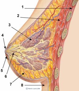 papilloma seno c3