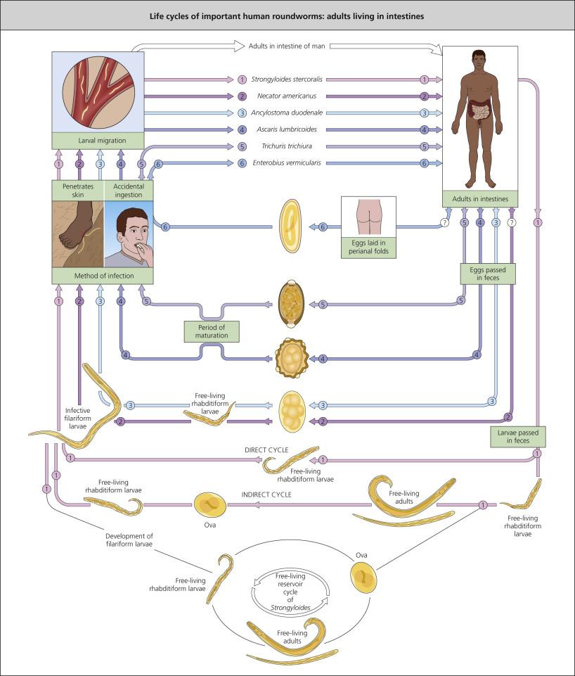 enterobius vermicularis autoinfection)