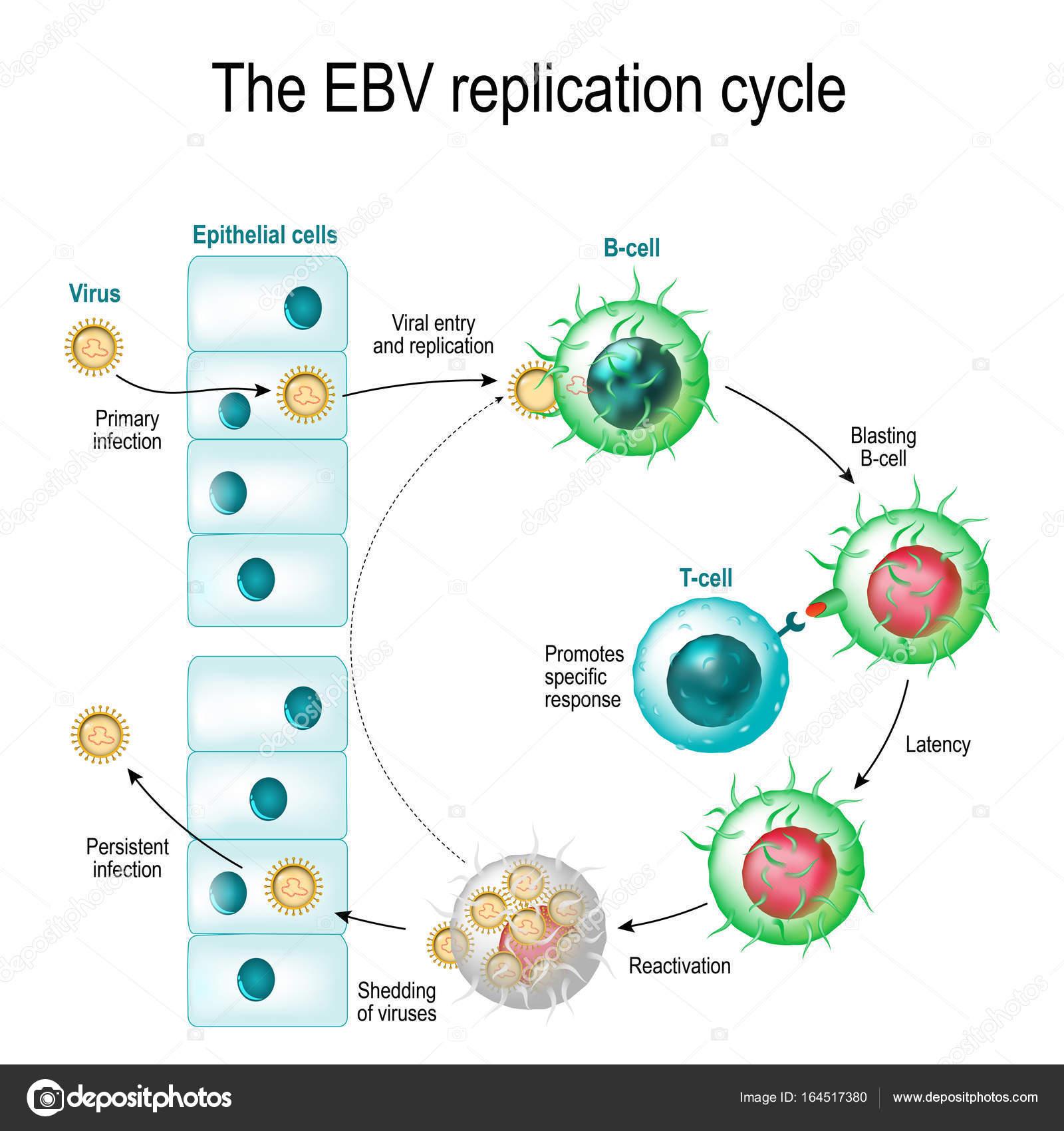 virus epstein barr)