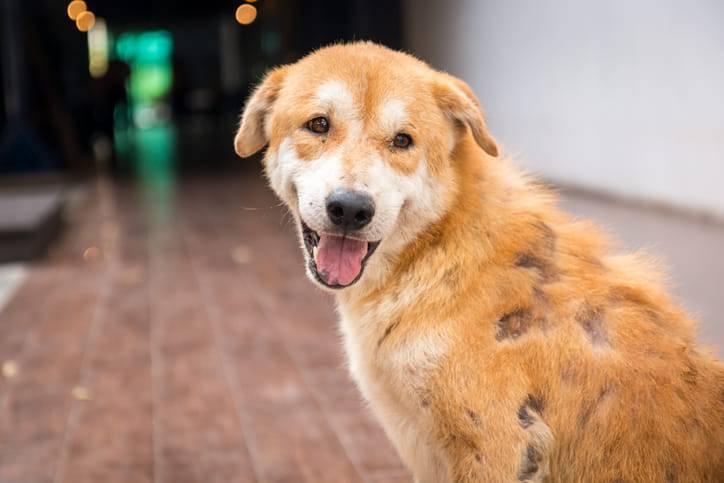 Atopivet – o nouă soluţie în tratarea dermatitei atopice canine