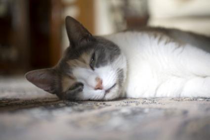 cat cancer abdominal fluid)