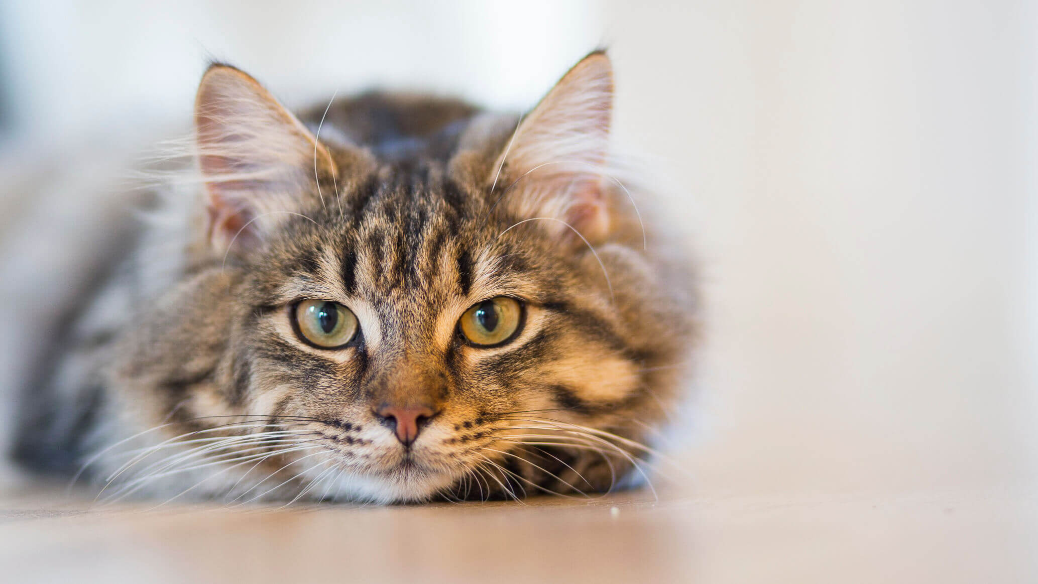 cat cancer abdominal mass)