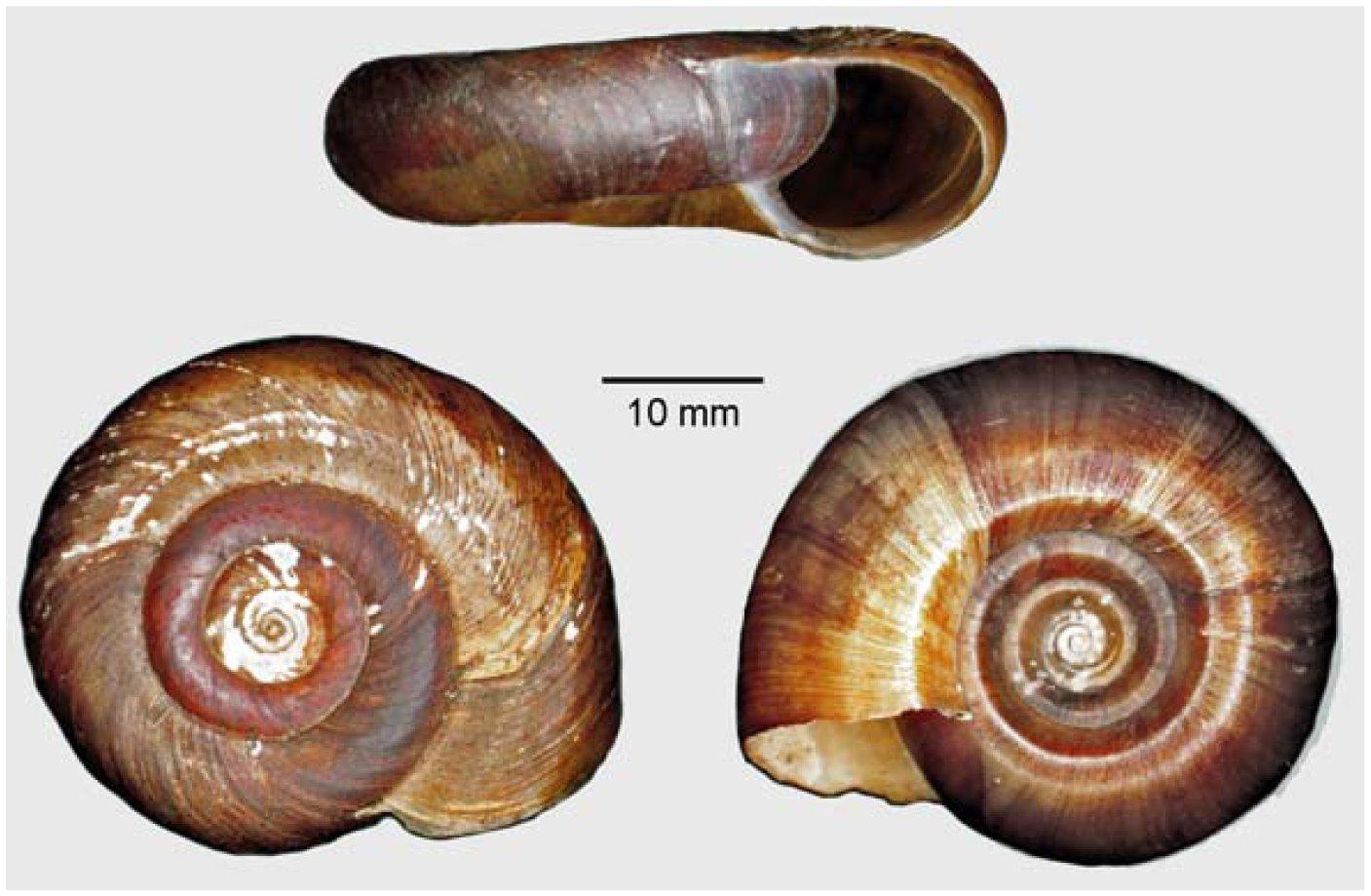 schistosomiasis snail species)