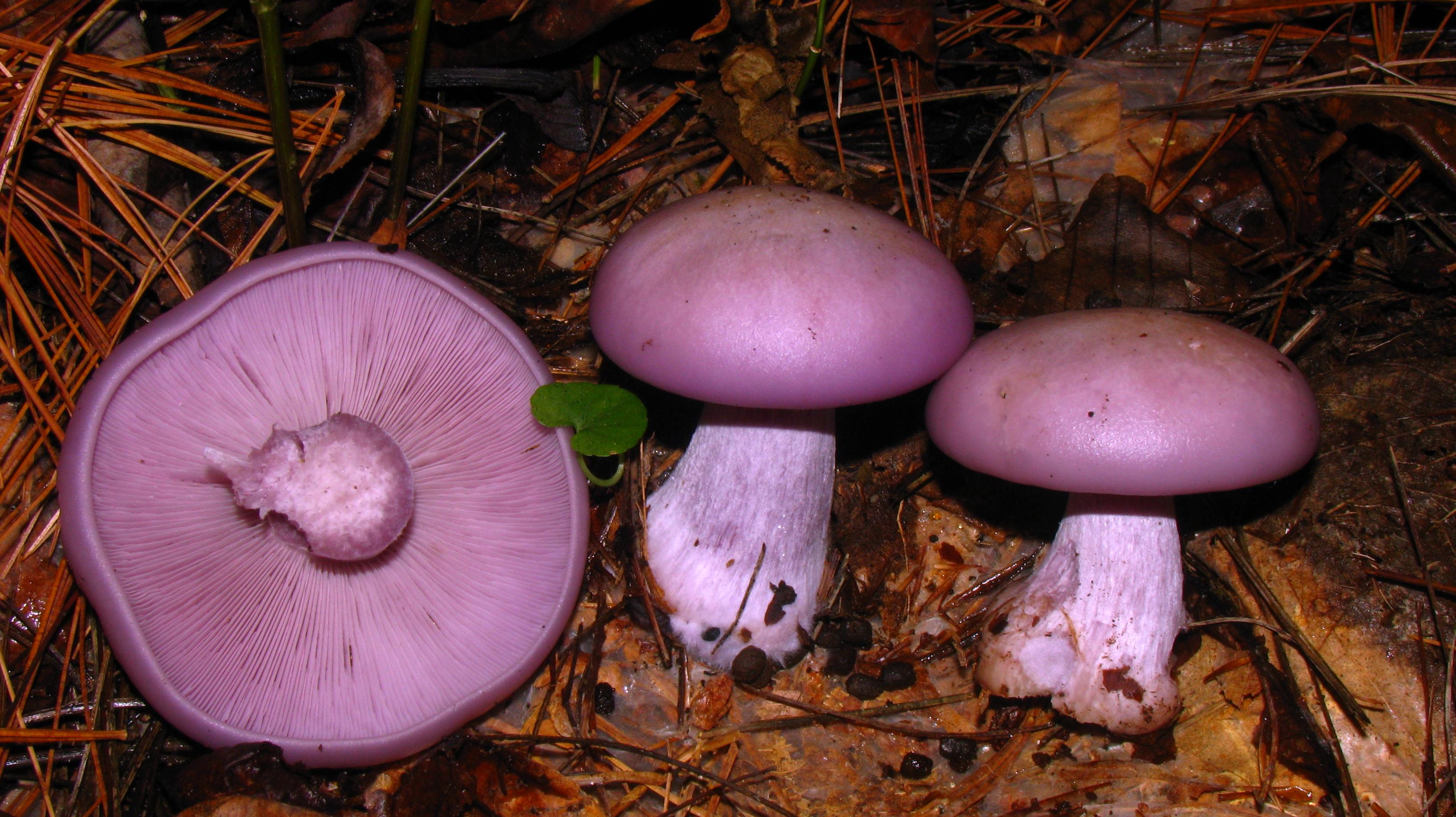ciuperci violete)