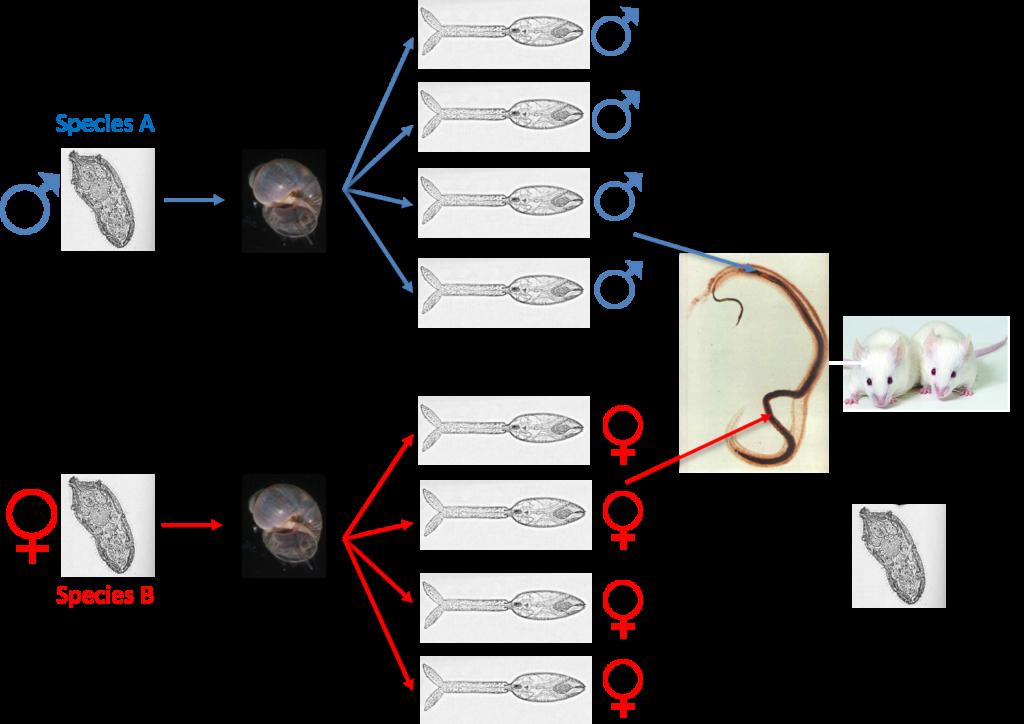 schistosomiasis zoonotic)