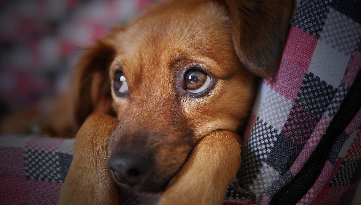 papilloma virus cani