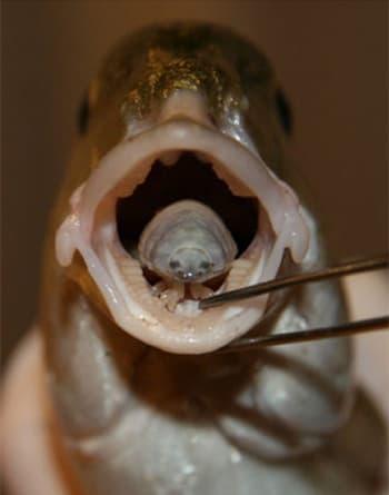 ryba parazit jazyk)
