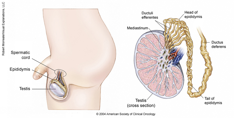 Simptome ale cancerului testicular. Factori de risc în această afecţiune