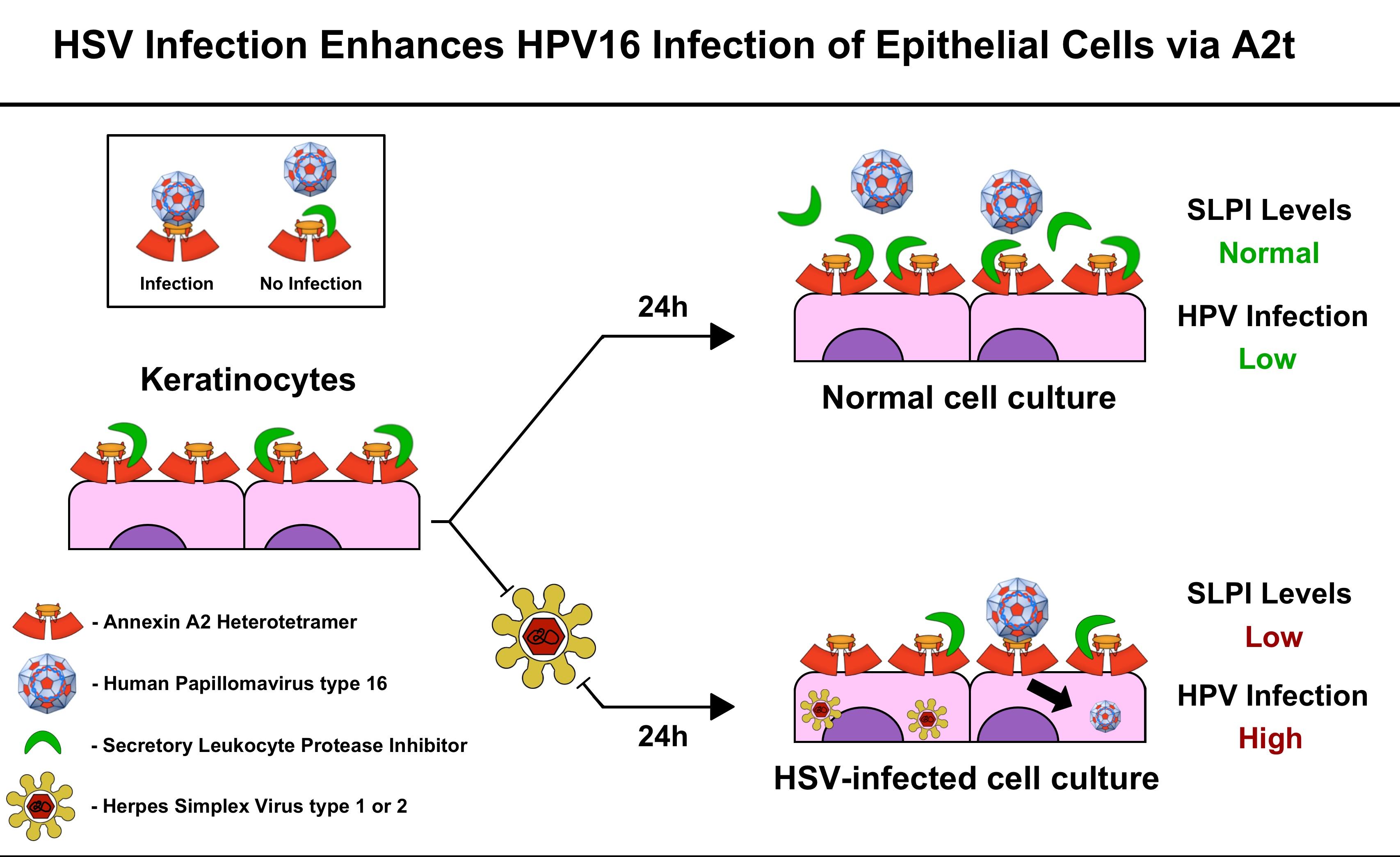 papillomavirus herpes virus