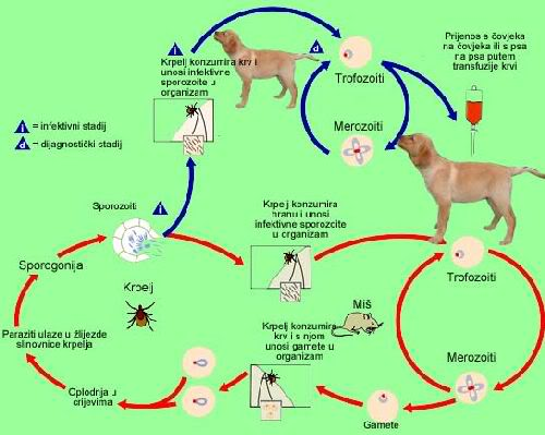 paraziti u psa priznaky
