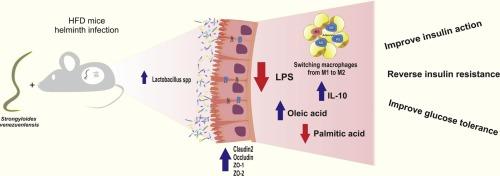 helminth infection gut