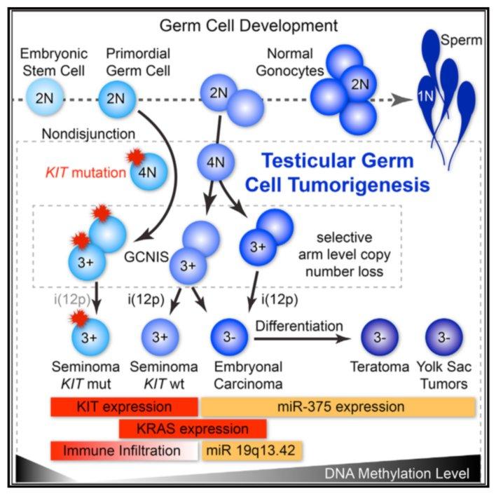 testicular cancer ncbi)