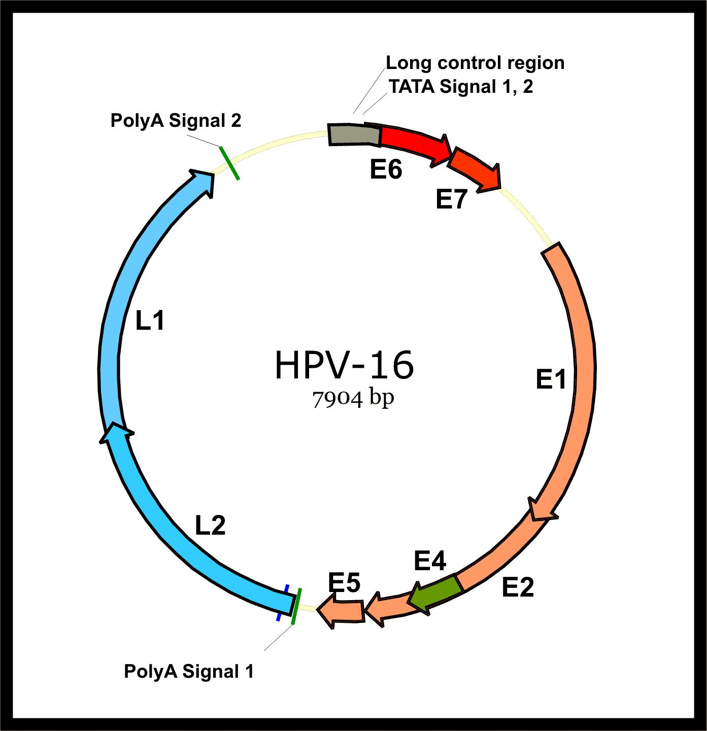 hpv virus diagram)