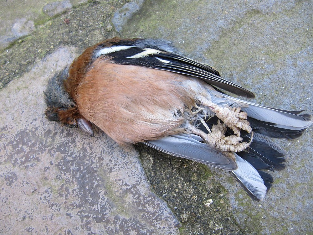 papillomas in birds