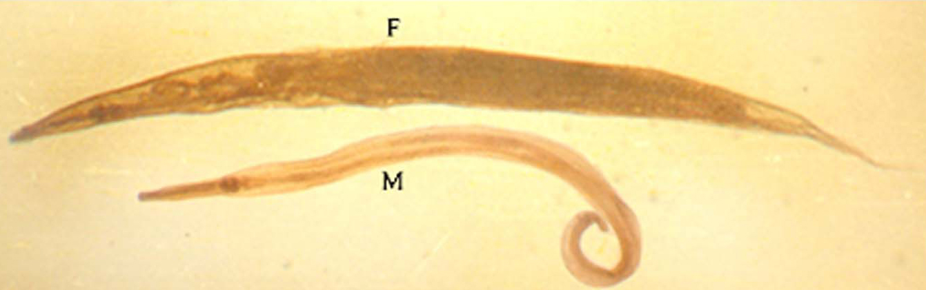 oxiuros vermiculares)