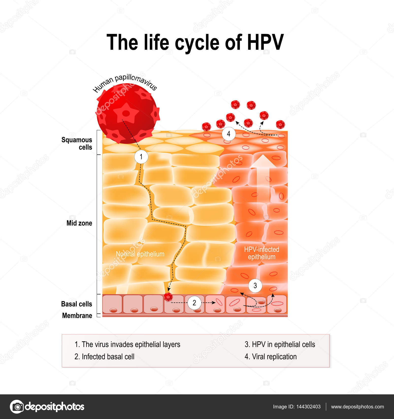 hpv virus life cycle)