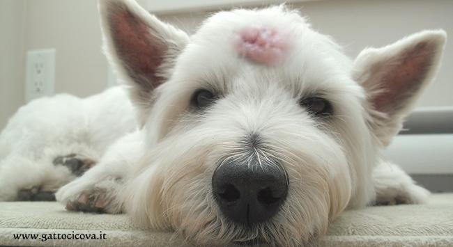 papilloma nel cane cura)
