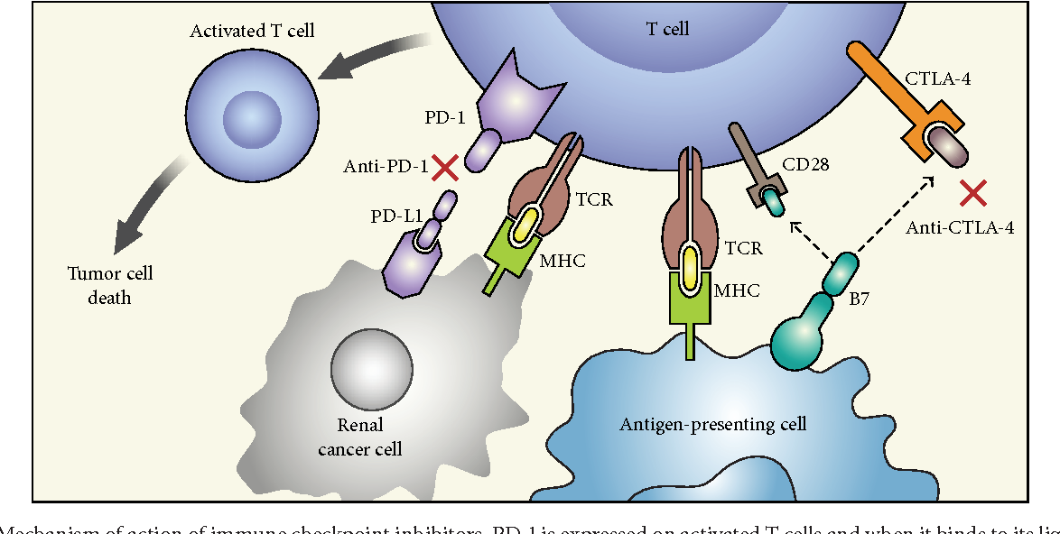 renal cancer immunotherapy